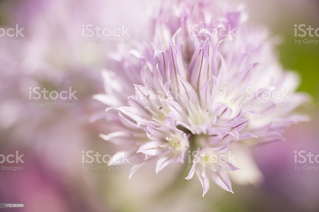 Blooming Chive royalty-free stock photo
