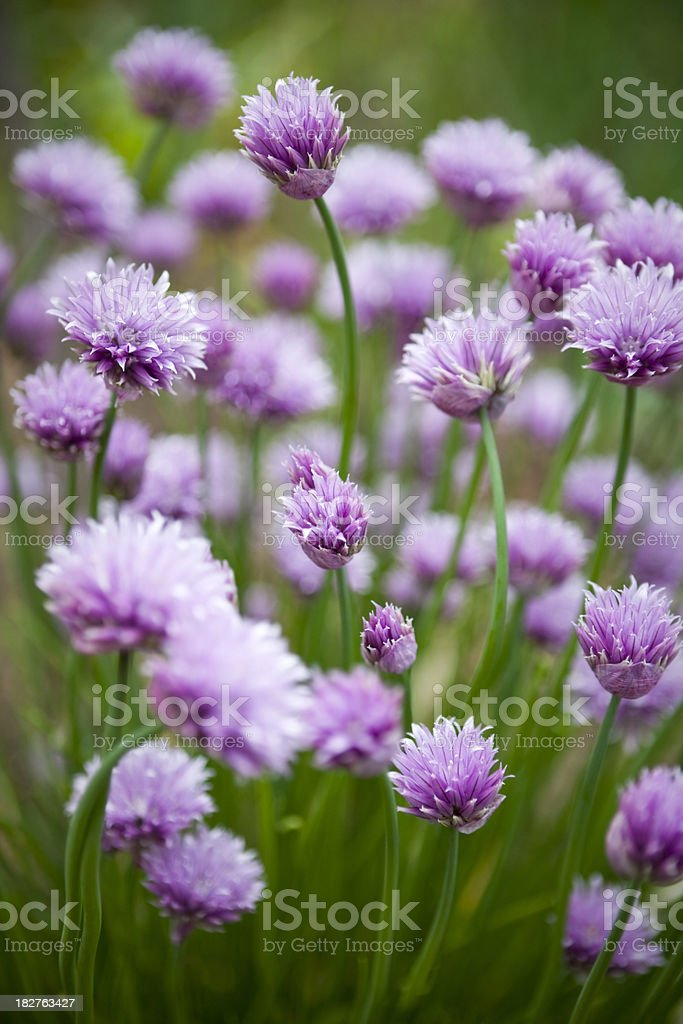 Blooming Chives in Vegetable Garden royalty-free stock photo