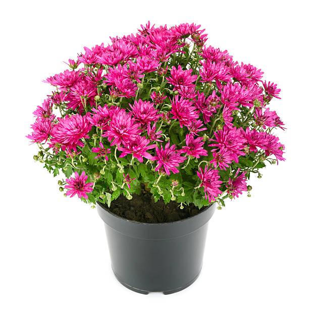 blooming chrysanthemum in flowerpot - chrysant stockfoto's en -beelden