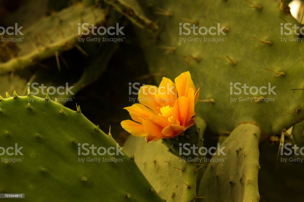Blooming claret cup cactus blossoms stock photo