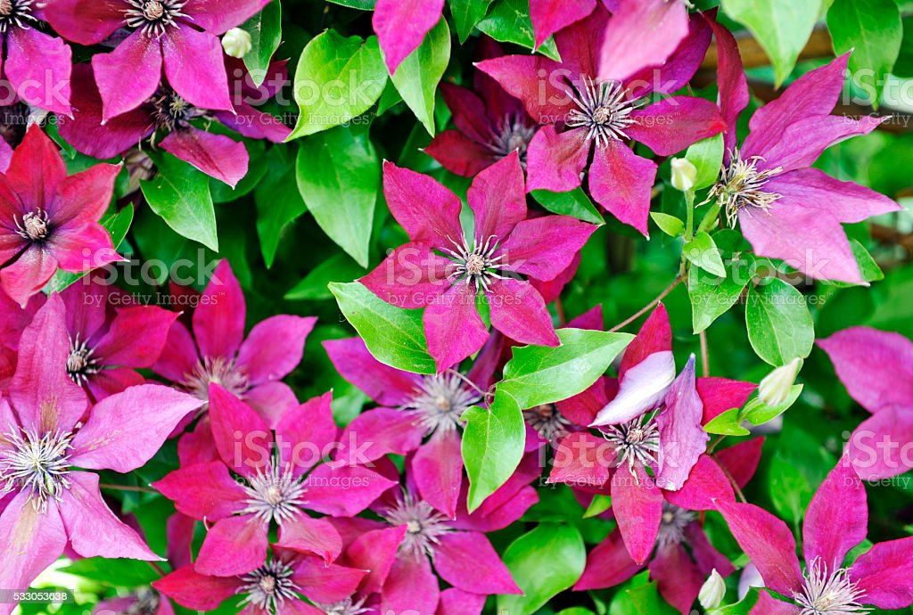 Blooming clematis background stock photo