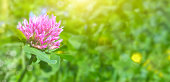 Blooming clover is a bright purple color. Flower background for design, panoramic photo