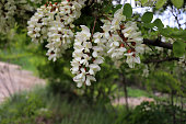 Blooming clusters of acacia. Honey spring plant. Collect nectar. Branches of black locust, Robinia pseudoacacia, false acacia,close up, macro.