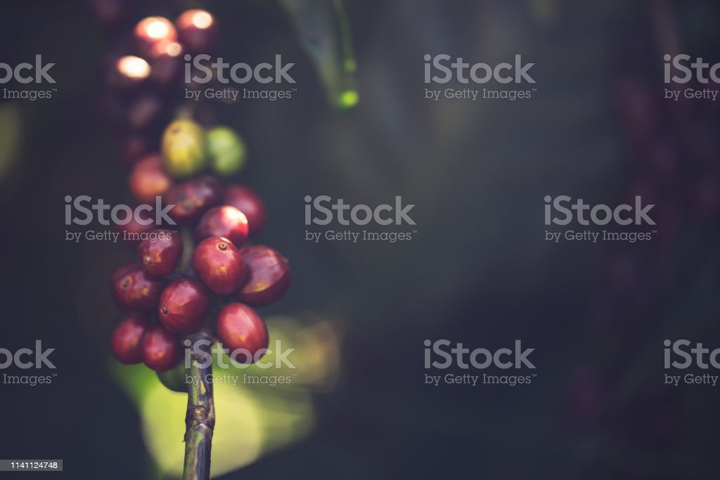Blooming coffee on a branch stock photo