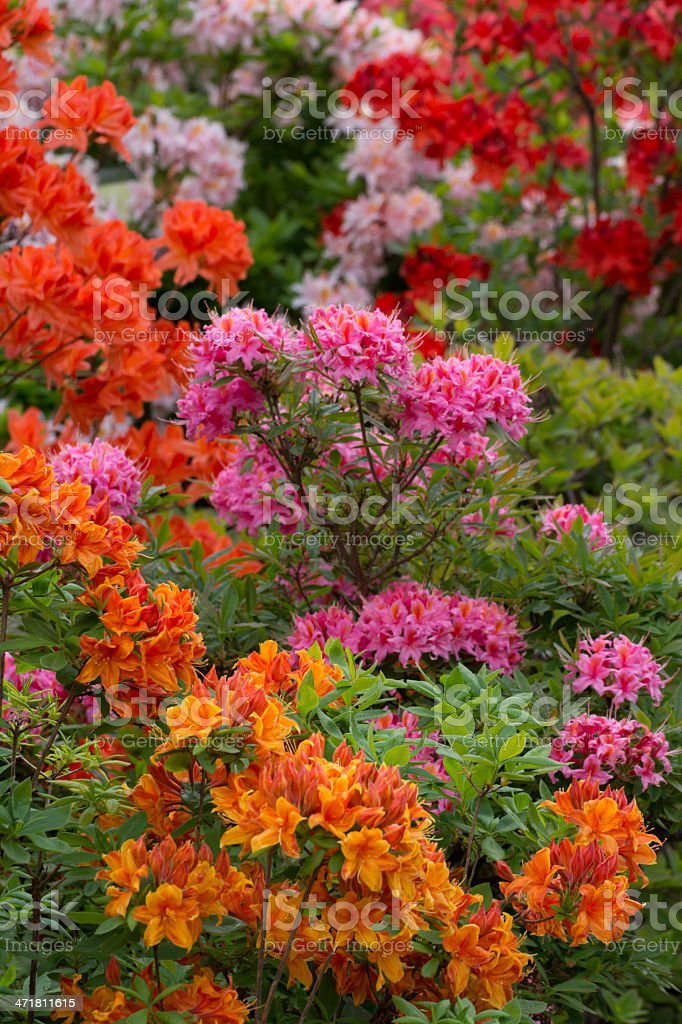 Blooming Colorful Rhododendron - XXXL stock photo