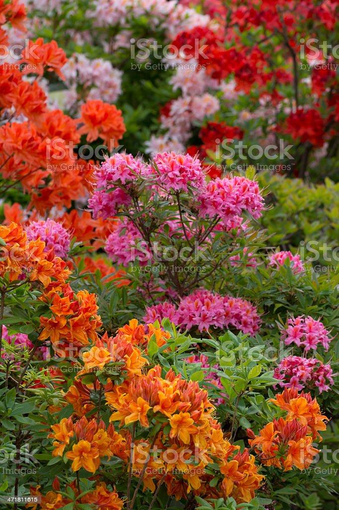 Blühenden bunten Rhododendron-XXXL – Foto