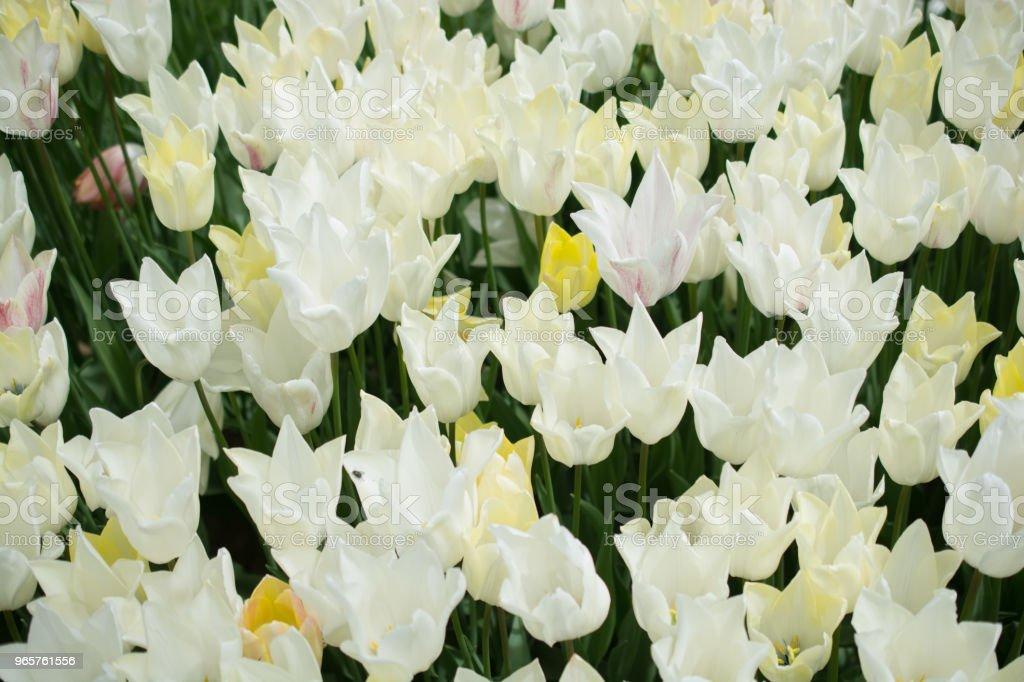 Kleurrijke tulp bloemen bloeien als florale achtergrond - Royalty-free Abstract Stockfoto