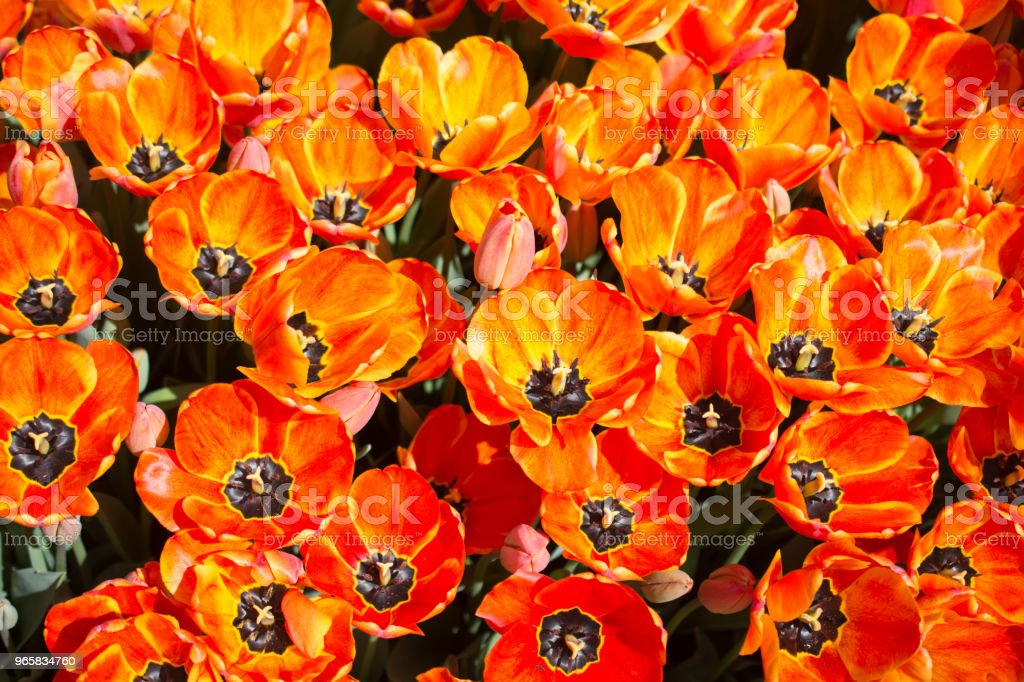 Blooming colorful tulip flowers as floral background - Royalty-free Abstract Stock Photo