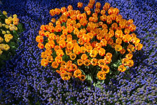 Kleurrijke Tulp Bloemen Bloeien Als Florale Achtergrond Stockfoto en meer beelden van Abstract