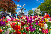 Keukenhof, The Netherlands - May, 2018: Blooming colorful tulips flowerbed in public flower garden Keukenhof with windmill. Popular tourist site. Lisse, Holland, Netherlands.
