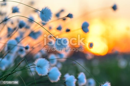 Arctic cotton on  background of the sunset sky