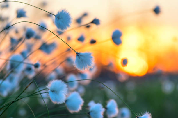 Blooming cotton grass stock photo