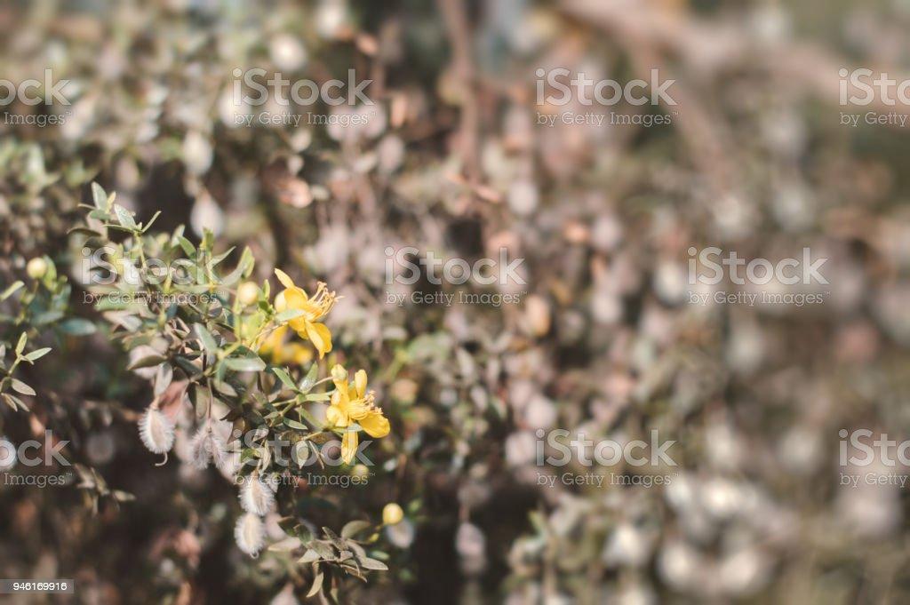 Blooming creosote bush. Background with Larrea tridentata plant stock photo