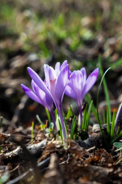 봄에 피는 크로커스 꽃 스톡 사진