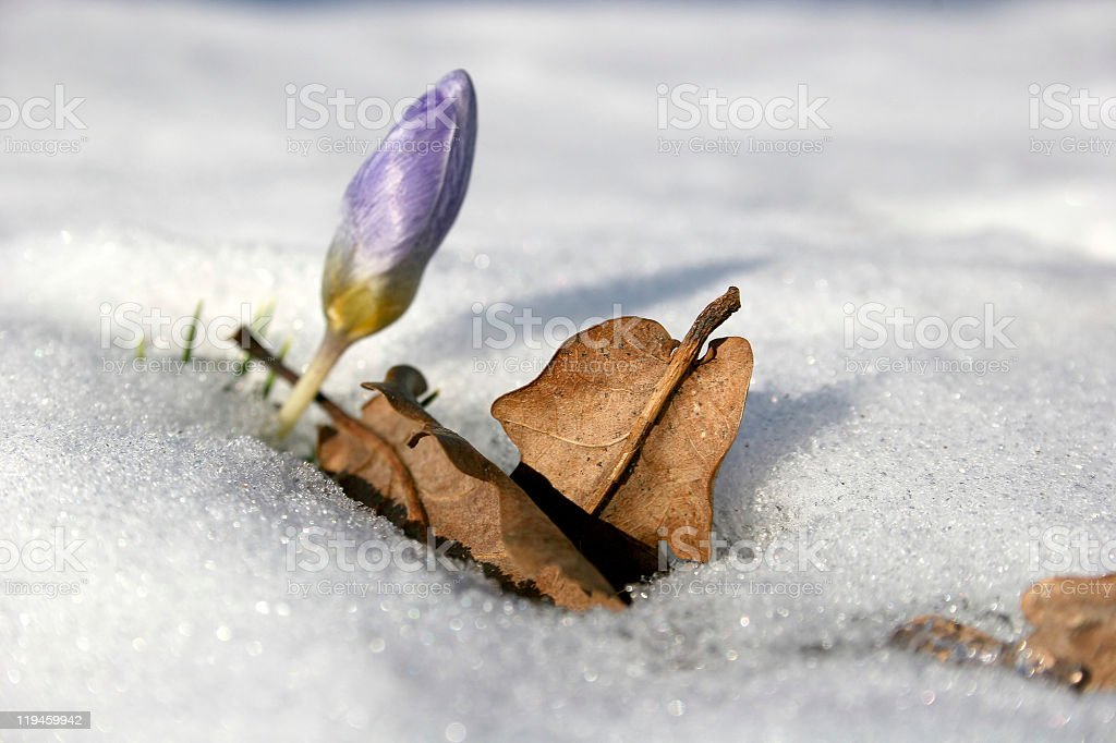 Blooming crocus in the snow royalty-free stock photo