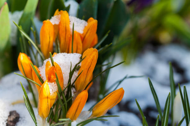 Blumen Krokus in den Schnee – Foto