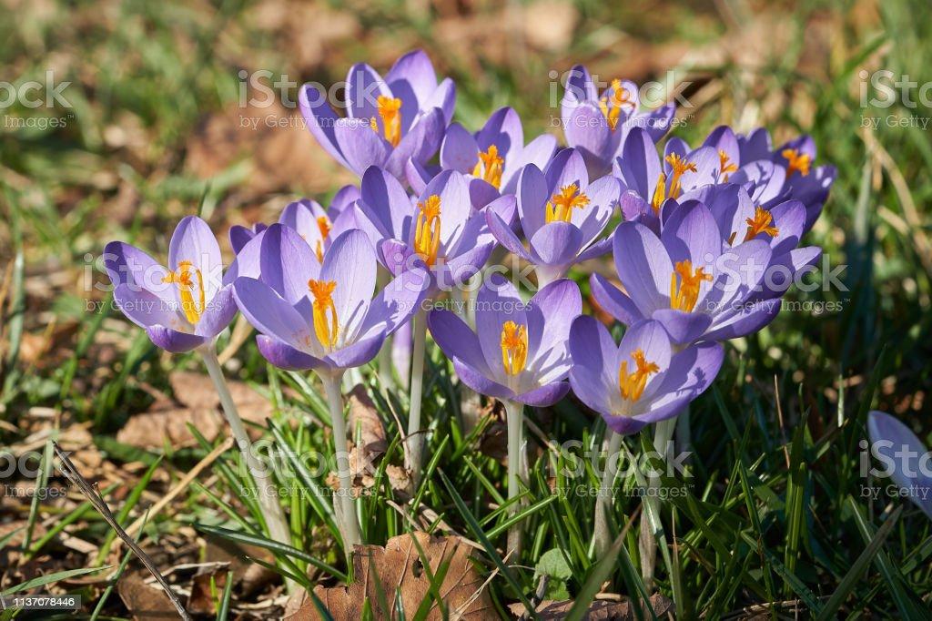Blühende Krokusse im Frühjahr – Foto