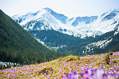 istock Blooming crocuses on a mountain meadow in spring (Tatra Mountain, Poland) 1129200864