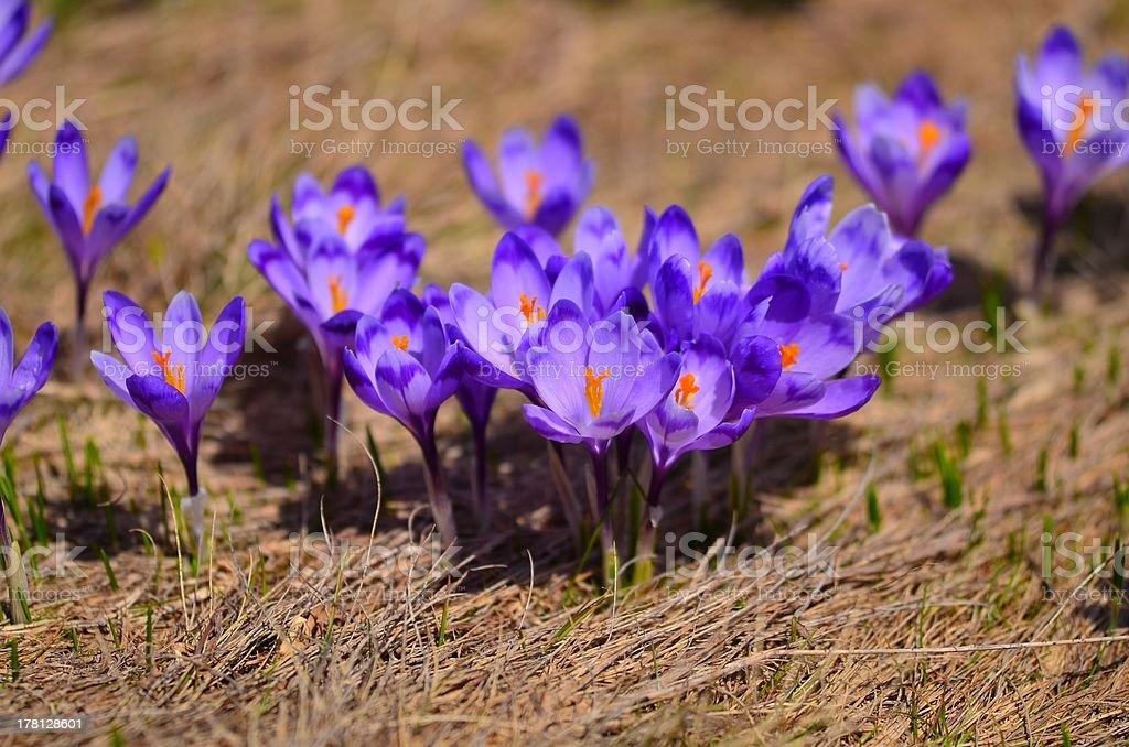 Blooming Crocuses royalty-free stock photo