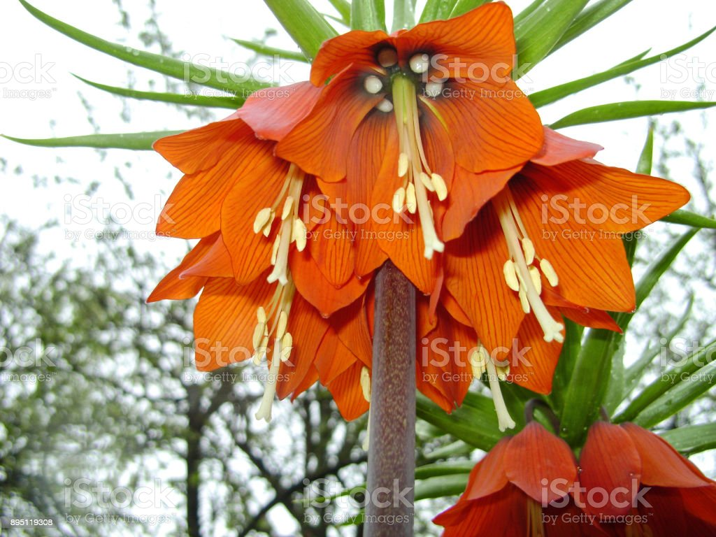 Blooming Crown Imperial In Spring Garden Crown Imperial Fritillary