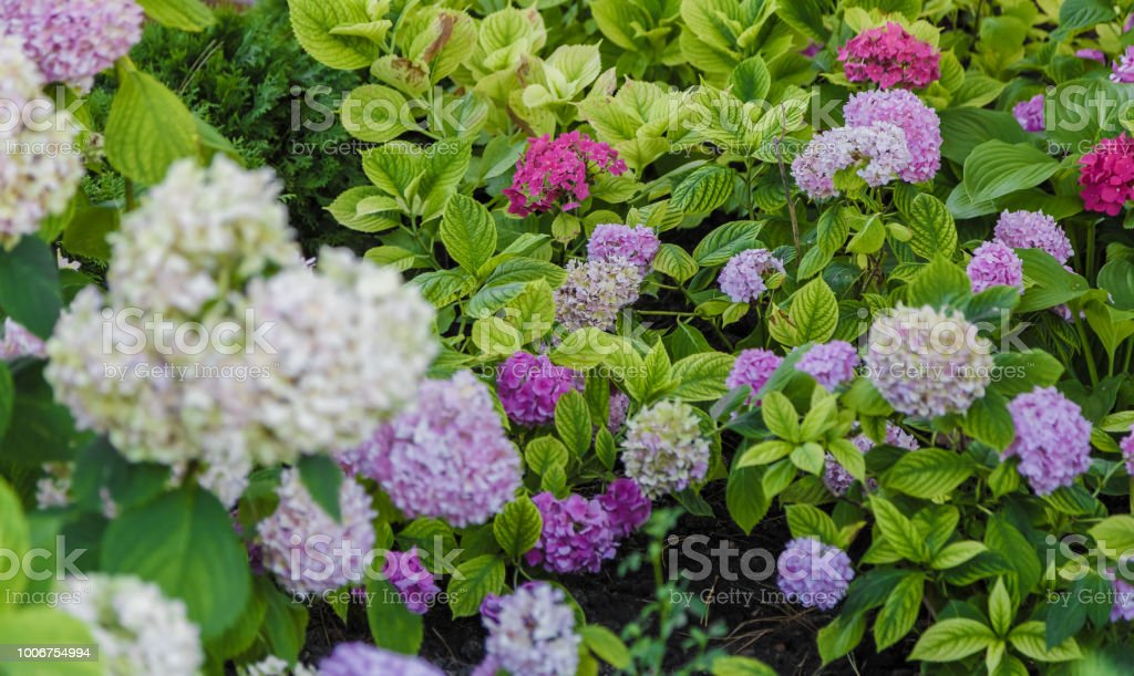 Blooming cultivar panicled hydrangea Hydrangea paniculata in the summer evening garden stock photo