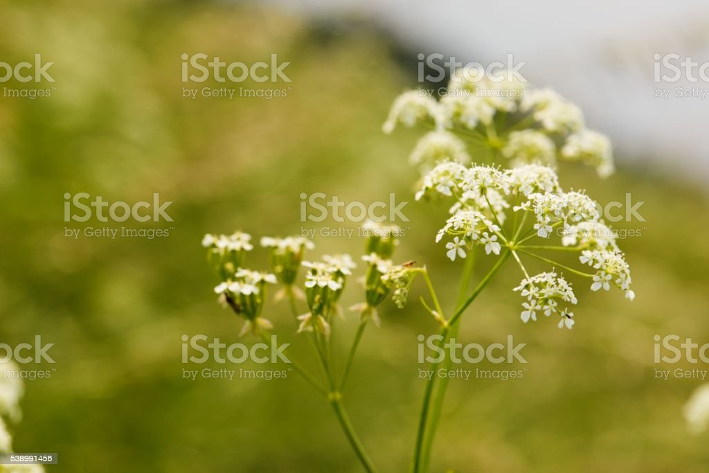 Blooming cumin with small white flowers on summer meadow stock photo