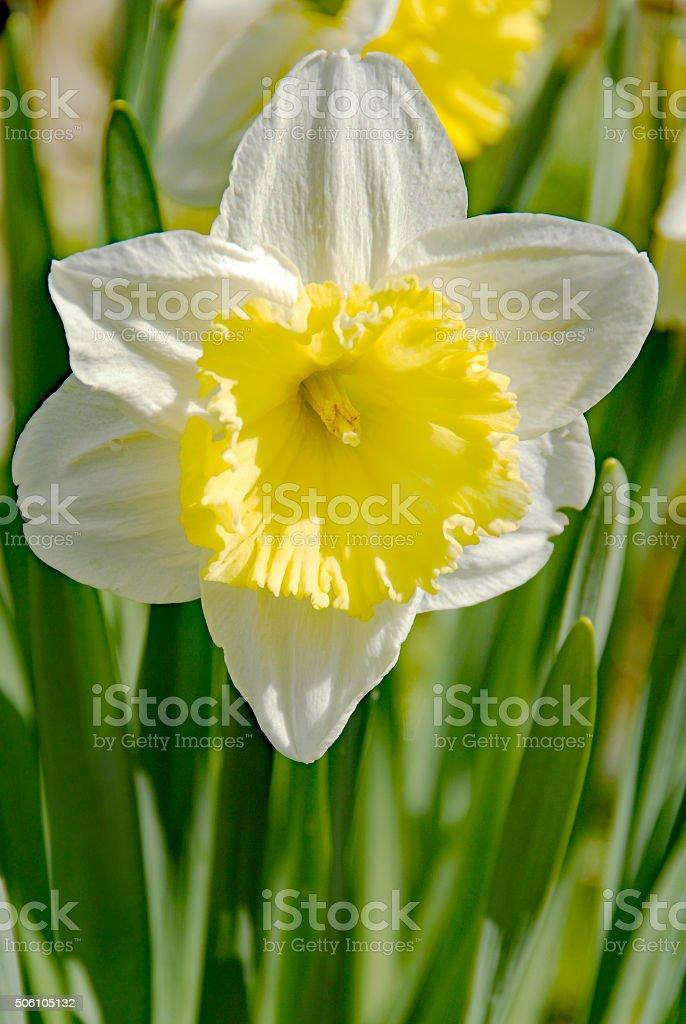 Blooming daffodil in springtime stock photo