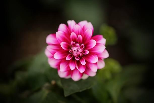 bloeiende dahlia flower - dahlia stockfoto's en -beelden
