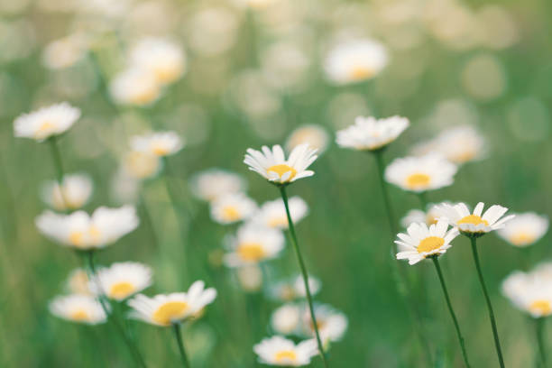 Blooming daisies in a summer meadow stock photo