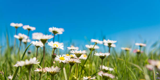 bloeiende madeliefjes voor blauwe hemel - madeliefje stockfoto's en -beelden