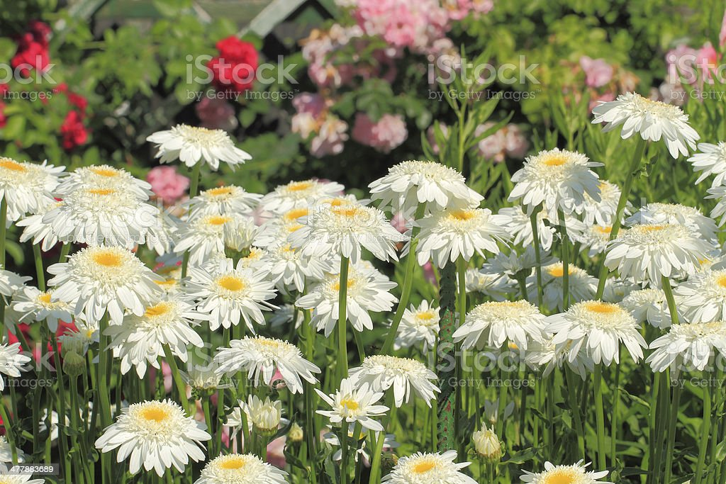 Blooming daisies royalty-free stock photo