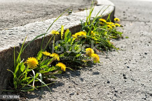 istock blooming dandelion at the roadside 471761494