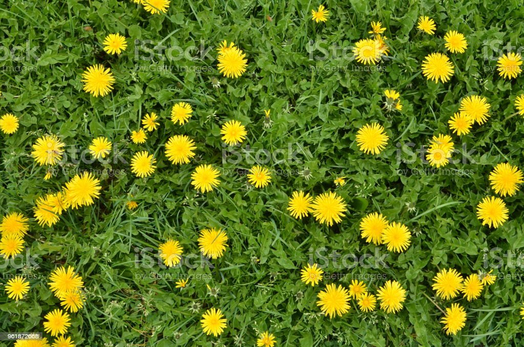 Blooming dandelion flowers in green grass