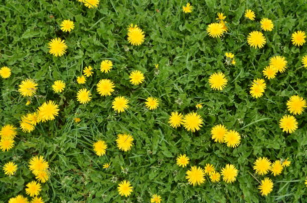 Blooming dandelion flowers in green grass stock photo