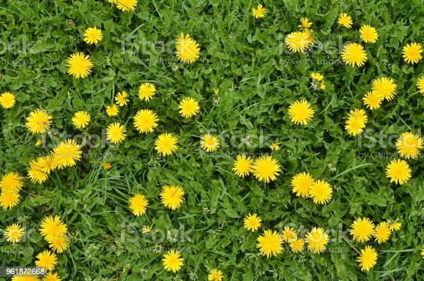 Photo of Blooming dandelion flowers in green grass