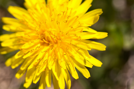 Extreme close-up of a beautiful blooming dandelion.