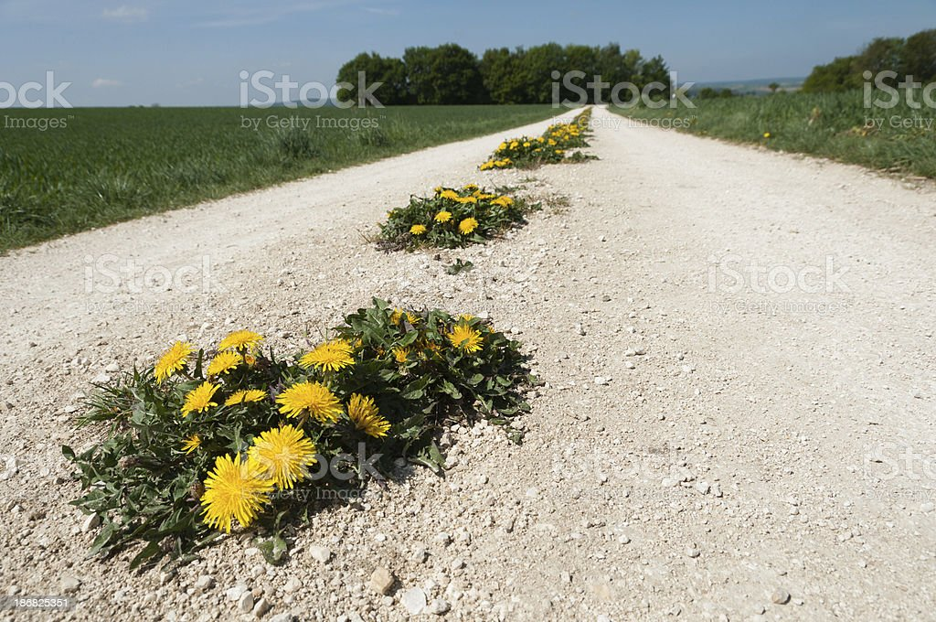 Blooming dandelions on a stone path stock photo