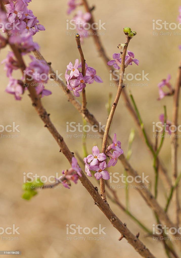 Blooming daphne mezereum royalty-free stock photo