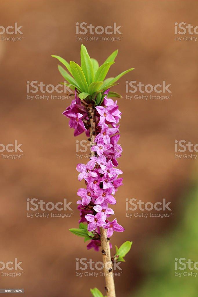Blooming daphne mezereum stock photo