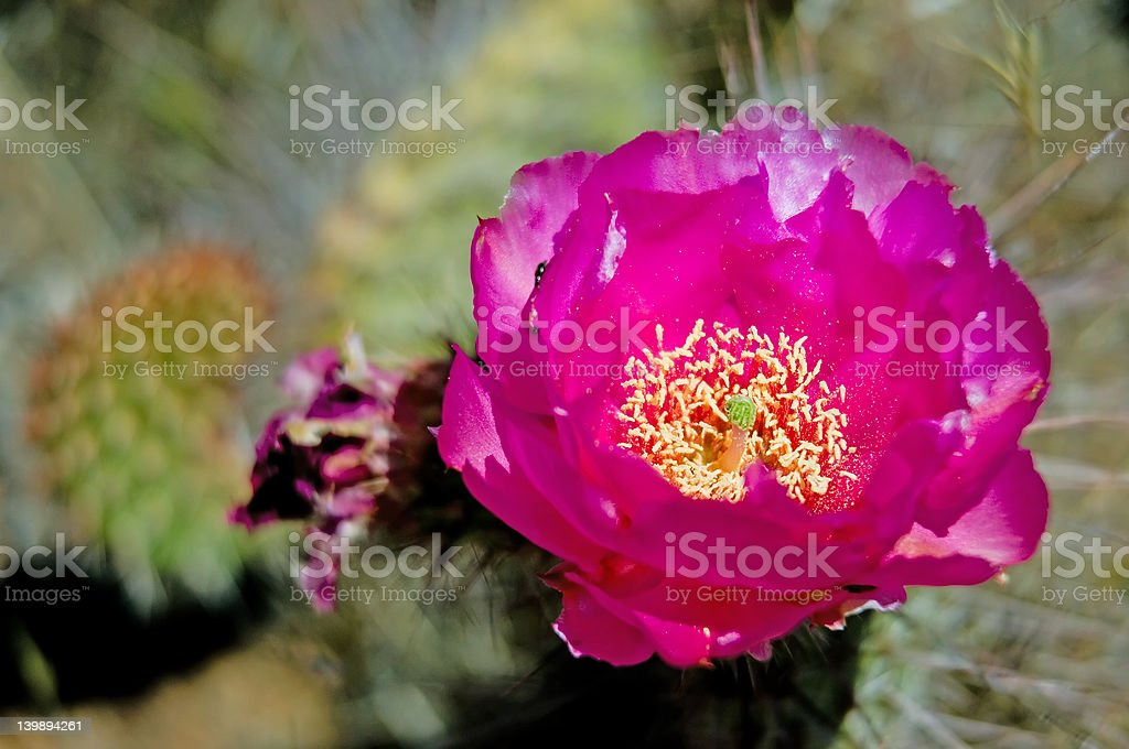 Blooming desert royalty-free stock photo