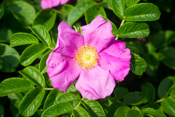Blooming dog rose in the garden Blooming dog rose in the garden. Selective focus. wild rose stock pictures, royalty-free photos & images