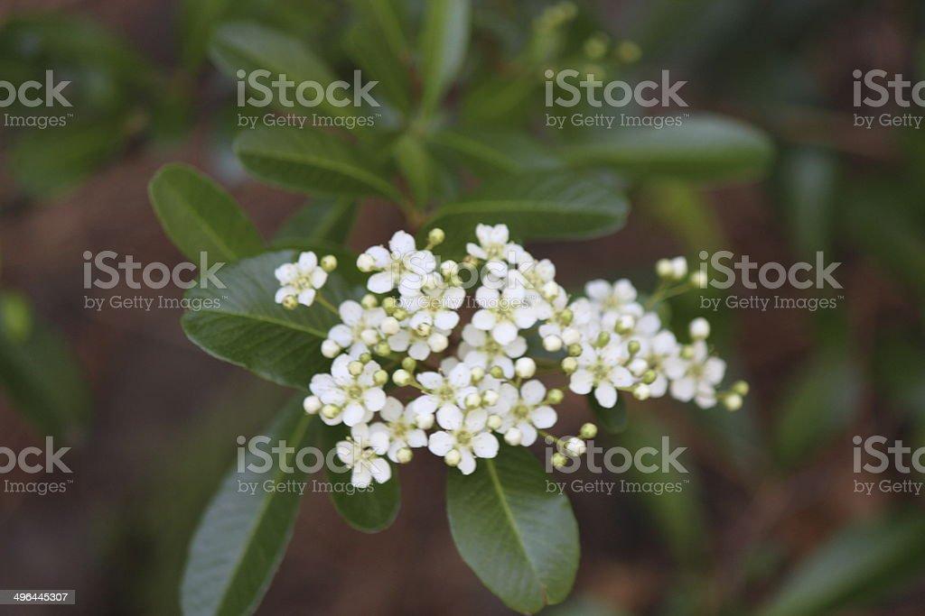 Blooming Dogwood stock photo