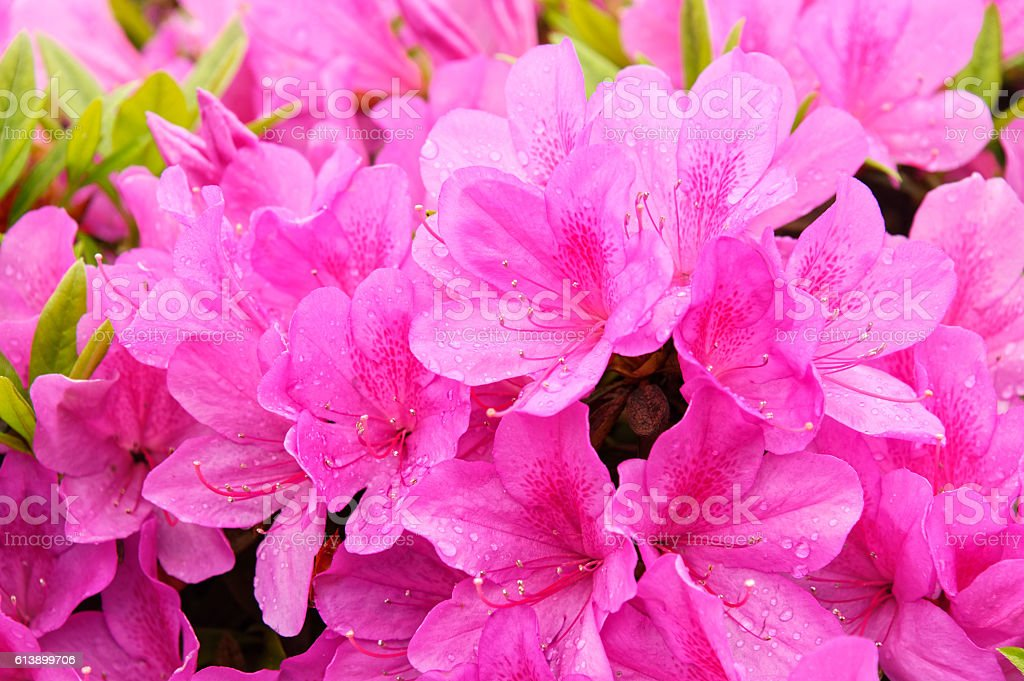 Blooming dream azalea flowers bildbanksfoto
