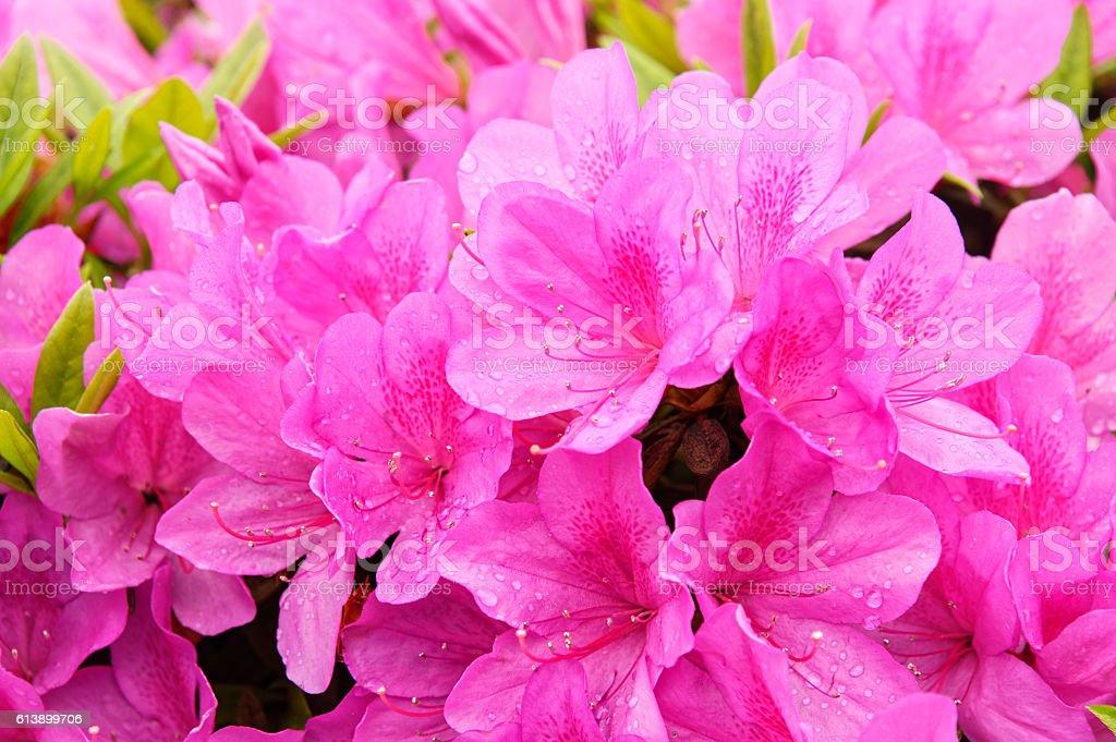 Blooming dream azalea flowers bildbanksfoto