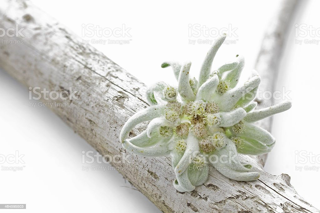 Blooming Edelweiss Flower (Leontopodium alpinum) stock photo