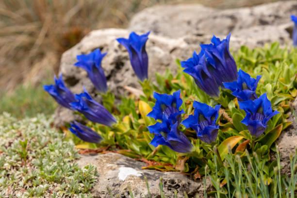 bloeiende enzian bloemen - gentiaan stockfoto's en -beelden