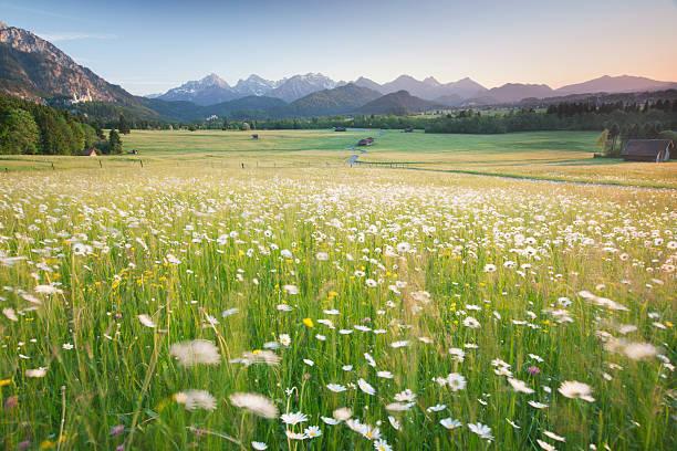 blühenden feld, bayerische ostallgäu, bayern, deutschland, blick auf die alpen - allgäu stock-fotos und bilder