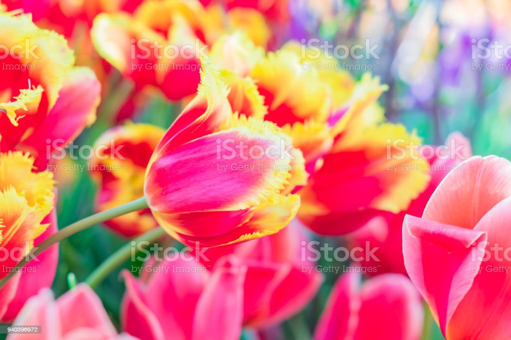 blooming field of red and yellow tulips, floral background stock photo