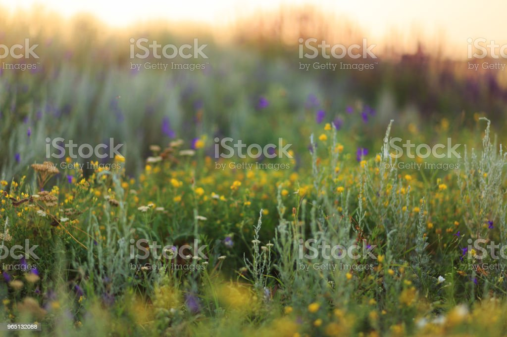 Blooming field of wild flowers in the early morning in steppe zbiór zdjęć royalty-free