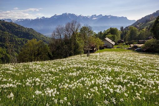 Blooming field with wild narcissus flower (narcissus poeticus) at the Swiss Alps